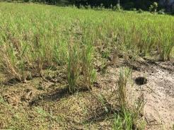 Reispflanzen