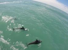 Duskydelfine