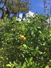 3 gelbe Zitronen am Baum, die ich gegessen habe