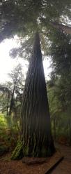 Redwood im Whakarewarewa Forest