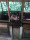 Schwein vom Onkel