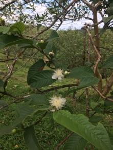 Guava Blüte