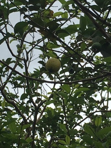 Guava Frucht